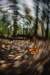 Rotation (Photo Alan) Tags: butterfly rotation woods forest autumn effective outdoor canada vancouver