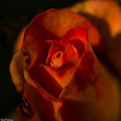 Waiting (Kent Freeman) Tags: smc pentaxd fa macro 100mm f28 wr pentax k3 d outdoor rose sunset