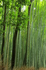 Bamboo forest -Sagano Bamboo Forest (cattan2011) Tags: traveltuesday travelblogger travel trees bambooforest landscape landscapesphotography natureperfection naturephotography nature kyoto japan   saganobambooforest