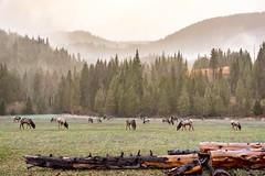 Rainy Morning Elk (Stephen Tamm) Tags: idaho prichard elk herd wildlife
