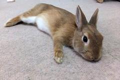 Ichigo san 481 (mensore) Tags:  rabbit bunny netherlanddwarf brown