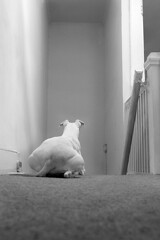 Waiting (Rommel Parada) Tags: white dog whippet animal sighthound tommy furry loyal pet pooch carpet stairs blackandwhite monochrome grayscale groundlevel lowangle funny humor rearview