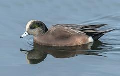 American Wigeon (Anas americana) (fugle) Tags: wigeon widgeon americanwigeon duck dabblingduck waterfowl baldpate diamondpond reno washoeco nevada