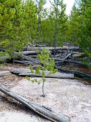 Young tree (plethora4834) Tags: yellowstonenationalpark yellowstone park wyoming wy nature trees young