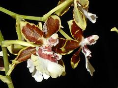 Cambria Orchid - Macro shot (presbi) Tags: orchidea orchid orchids cambria