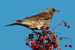 fieldfare (Explore) (DODO 1959) Tags: wildlife wales nature avian birds thrush fieldfare kidwellyquay perch berries animal canon 100400mmmk2 1dmk4 outdoor fauna