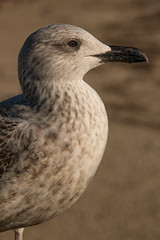 Goland, Antibes (Jef ALTERO) Tags: mouette oiseau bird