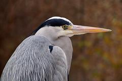 DSC02308 (Christine Gerhardt) Tags: deutschland reiher stuttgart tierfoto vogel wilhelma zoo