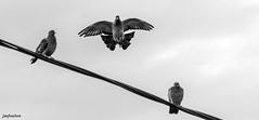 Pigeons (foulonjm) Tags: sisteron pigeons oiseaux