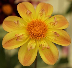 Sunny Disposition (charlottes flowers) Tags: dahlia yellow dahliashow dahlaintaceileen