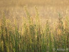 August 16, 2015 - Grasses backlit by sunrise. (Alisa H)