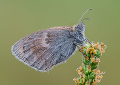 Coenonympha pamphilus (Prajzner) Tags: morning plant macro butterfly sigma poland naturallight stack lepidoptera manfrotto sigma105mmmacro coenonymphapamphilus smallheath subcarpathia macrodreams nikond7100 prajzner manfrottomt190xpro3