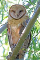 CAC035020a (jerryoldenettel) Tags: bird raptor owl nm barnowl tytoalba strigiformes 2015 tyto tytonidae leaco conocoplayalake