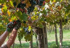 Grape harvest.... (Lupogrande25) Tags: hands harvest grape vendemmia montepulcianodabruzzo