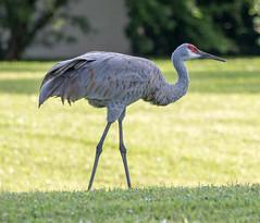 20151017-_74P3338.jpg (Lake Worth) Tags: bird nature birds animal animals canon wings florida outdoor wildlife feathers wetlands everglades waterbirds southflorida 2xextender