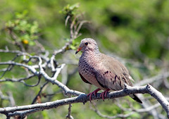Totoliko (Loopduifje) (Robin Valk) Tags: bird nature bush branch loop pigeon dove curacao duif totoliko