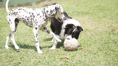 DSC02859 (agorayebm) Tags: dog bordercollie dalmatian crick dlmata