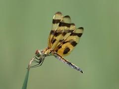 Halloween Pennant (Celithemis eponina) Female (Rezamink) Tags: usa dragonflies odonata halloweenpennant celithemiseponina