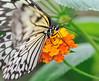 Demi-deuil JVA_0373 (mrjean.eu) Tags: sara sp atlas demi insectes attacus papillons heliconiinae deuil heliconius phaetusa dryatula