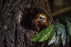 He Came Out, Just For Me ... and You (Flipped Out) Tags: chicago lincolnparkzoo lincolnpark goldenheadedliontamarin regensteinsmallmammalreptilehouse