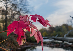 A splash of red (tquist24) Tags: autumn trees red sky tree fall leaves river geotagged leaf nikon unitedstates indiana elkhart islandpark stjosephriver nikond5300