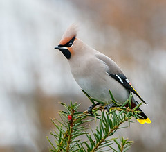 Another waxwing (tods_photo) Tags: winter color bird beautiful birds norway wildlife waxwing 500px ifttt