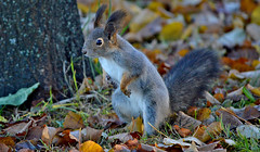 - Oooh no, the dog!!! / or Friday the 13th (L.Lahtinen (nature photography)) Tags: squirrel autumn kurre orava syksy finland suomi wildlife animal eläin nature redsquirrel luonto cute adorable furry söpö suloinen nikon flickr autumnleaves fridaythe13th d3200 nikond3200 55300mm europe