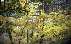 ql17_20161112_12 (sesquiotic) Tags: leaves foliage fallfoliage ontariosciencecentre canoncanonetql17giii kodakportra160asa