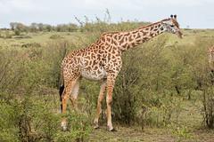 Masai Giraffe (Nomad Drifter) Tags: africa animal mammal outdoors kenya wildlife safari giraffe plains maasai grasslands herbivore twiga gamepark masaimara wildlifesanctuary giraffacamelopardalistippelskirchi masaigiraffe keekorok narok
