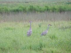 Crane pair (MyFWC Research) Tags: bird florida crane research avian threatenedspecies fwc floridasandhillcrane gruscanadensispratensis myfwc myfwccom fallrecruitmentsurvey