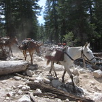 "Mules <a style=""margin-left:10px; font-size:0.8em;"" href=""http://www.flickr.com/photos/14315427@N00/23273519010/"" target=""_blank"">@flickr</a>"