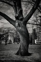 Scary tree (AVasilev) Tags: park white black tree scary sofia парк и zaimov дърво софия бяло черно заимов страховито