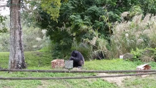 Chimpanzees getting Christmas gifts at Zoo Miami