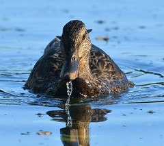 MRC_3750 (Obsies) Tags: patos gaviotas seagull lake laguna cangas morrazo ducks sigma300800 sigmonster nikon nikond500 zenelli naturaleza nature openair airelibre