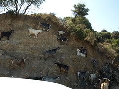 Wall of goats