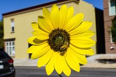 Urban Flower (photographyguy) Tags: flower denver colorado uptowndenver yellow urban street