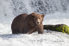 Brown bear {EXPLORED} (spwasilla) Tags: bear grizzlybear grizzly coastal water waterfall katmainationalpark katmai wildlife brooks falls alaska