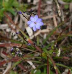 Blue Squill (philipbouchard) Tags: chamaescillacorymbosa bluesquill bluestars asparagaceae flower wildflower blue purple cavesroad route250 dunsborough westernaustralia australia