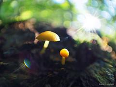 Sunshine Glow (Wild Nature.Photography) Tags: mycenaacicula mushroom fungus sunshine glow nature forest light canada olympusem5mkii mycena bokeh luminance