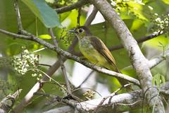 Hairy-backed Bulbul (christopheradler) Tags: malaysia hairybacked bulbul tricholestes criniger hairybackedbulbul tricholestescriniger