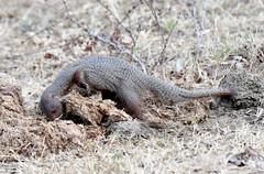 DSC_1431 (H Sinica) Tags: udawalawenationalpark  mongoose srilanka  ceylon  safari