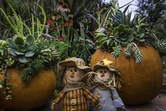 Succulent pumpkins (julesnene) Tags: julesnene juliasumangil succulents succulent pumpkin happy halloween backyard dolls canon7dmarkii canon7dmark2