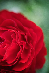 Red (borealnz) Tags: ranunculus flower red macro closeup spring bright