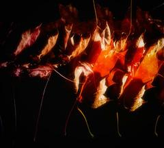 autumn walks at rush hour (Morag.) Tags: autumn fall leaf leaves falling walk colour red gold nikon d3300 nikkor light strobe flash