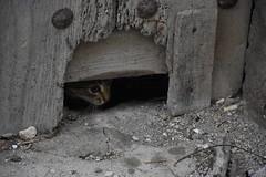 Gatitos (esta_ahi) Tags: baixcamp lafebr gatera gat gato gatito gatitos kittens felis silvestris catus felissilvestriscatus felidae mammalia animales domsticos fauna tarragona spain espaa