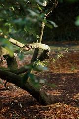 Twisted (Slytheerin) Tags: twist twisted tree automne autumn fall
