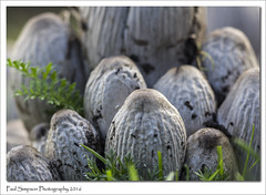 Wrinkly Fungus (Paul Simpson Photography) Tags: paulsimpsonphotography photoof photosof imageof imagesof mushroom mushroomphotography seasonalphotography sonya77 sonyphotography naturalworld nature naturephotography grass fungi fungus october2016 autumn
