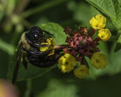 Bee_SAF4732-2 (sara97) Tags: bee flyinginsect insect missouri nature outdoors photobysaraannefinke pollinator saintlouis socialinsect towergerovepark urbanpark copyright2016saraannefinke