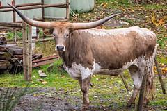 Tweezers (ausmc_1) Tags: fall nikkor2oo500f56vr october portalberni longhorn outdoor vancouverisland autumn cattle handheld d800 canada 2016 britishcolumbia domesticanimal mccoylake