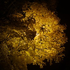 Autumn night (Bullpics) Tags: yellow norway oslo bullpics d7100 nikon night leafs autumn tree black background